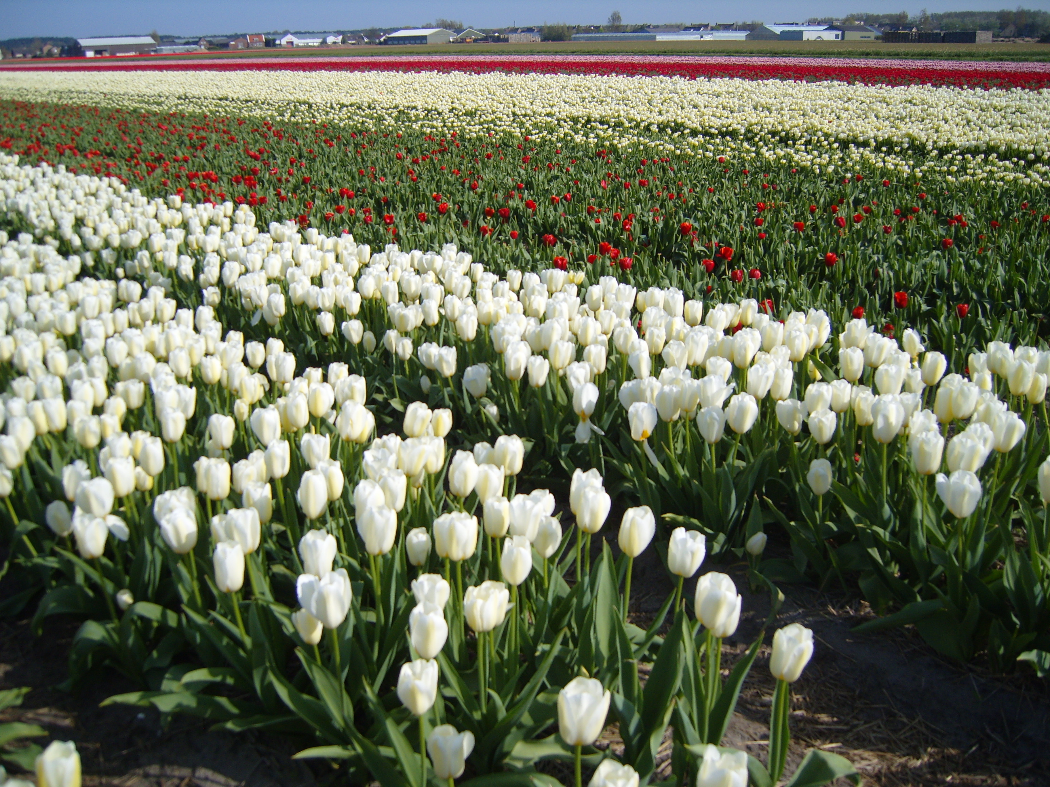 Champs de roses dans la région de Rijnsburg